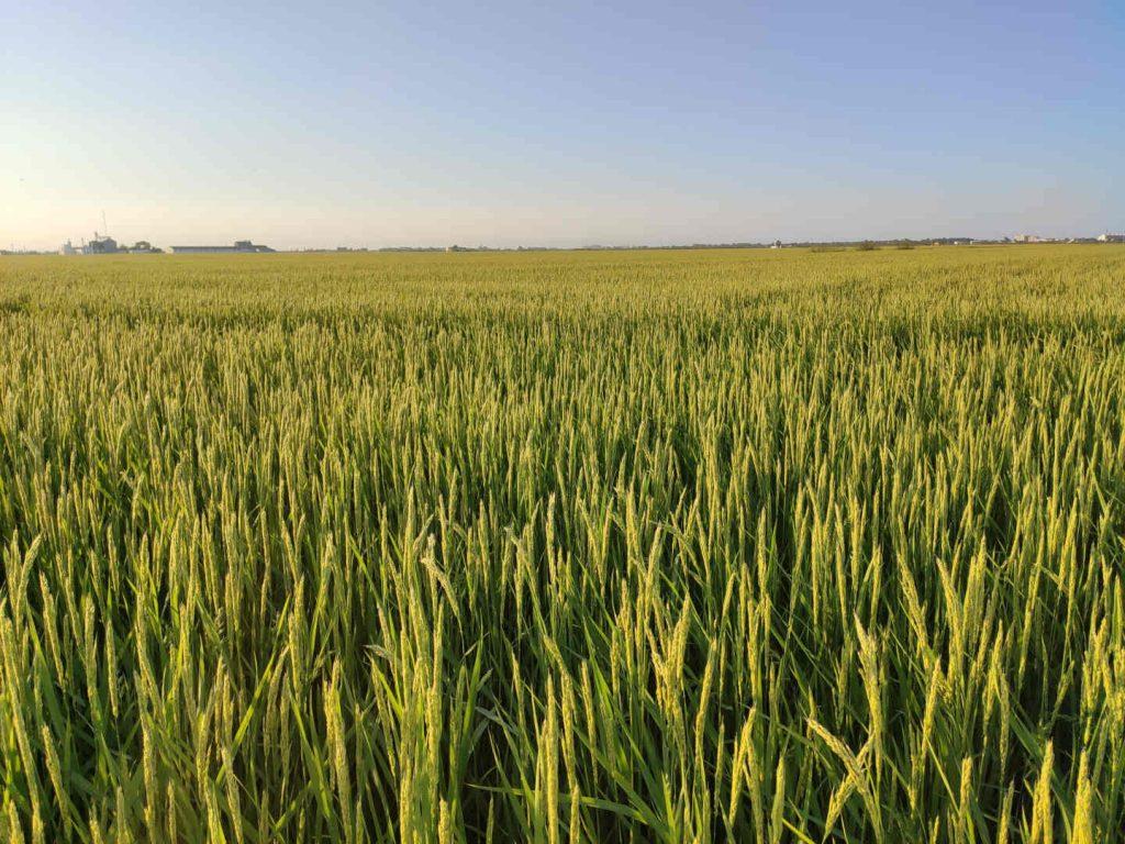 campos de arroz en la Albuera de Valencia