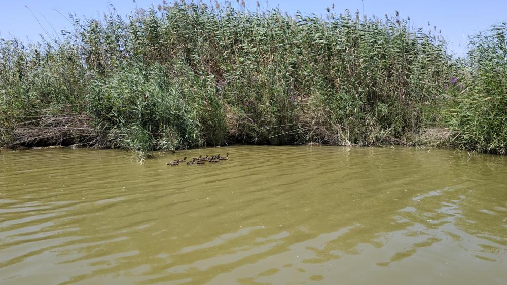 Aves en la Albufera de Valencia Patos